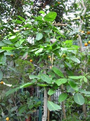 ostrokrzew paragwajski palmiarnia Gliwice